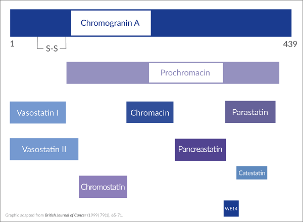 A chart depicting the biologically active peptides resulting from proteolysis of Chromogranin A.