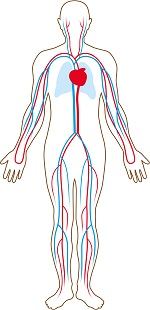 An illustration of the human circulatory system