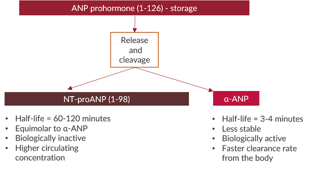 This flow chart demonstrates how ANP is released and cleaved into NT-proANP and alpha-ANP.
