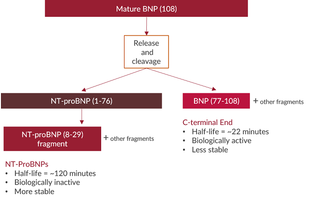 This flow chart demonstrates the process of BNP being released and cleaved into NT-proBNP and BNP fragments.