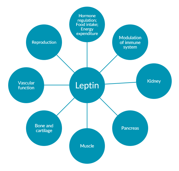 Investigating Bioactive Leptin in Obesity Research | ALPCO