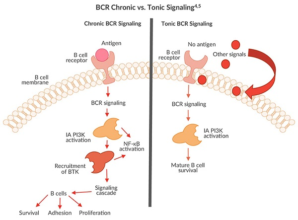 A chart demonstrating both chronic and tonic BCR signaling where Class IA PI3Ks are activated to aid B cells.