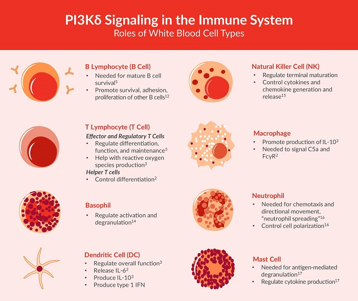 This chart outlines the roles of different white blood cells which are essential to understanding the role of PI3K delta signaling in rheumatoid arthritis.