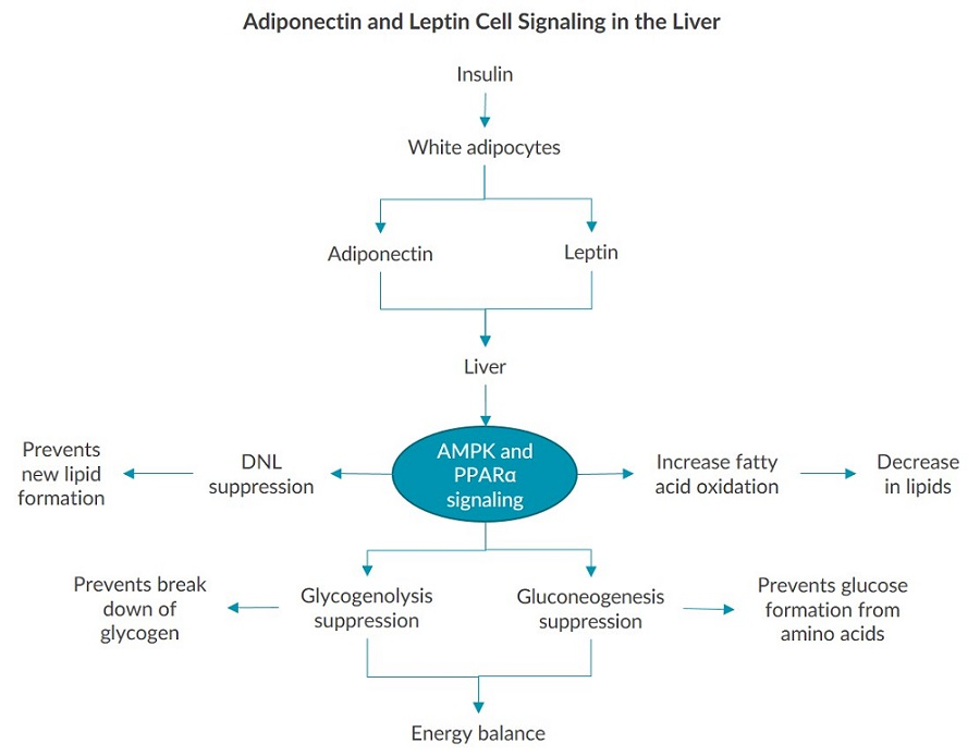 This diagram outlines the mechanisms of adiponectin and leptin cell signaling in the liver.
