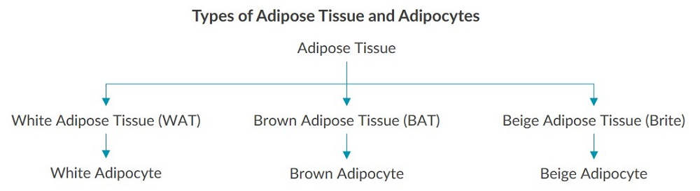 This diagram summarizes the three types of adipose tissue and adipocytes.