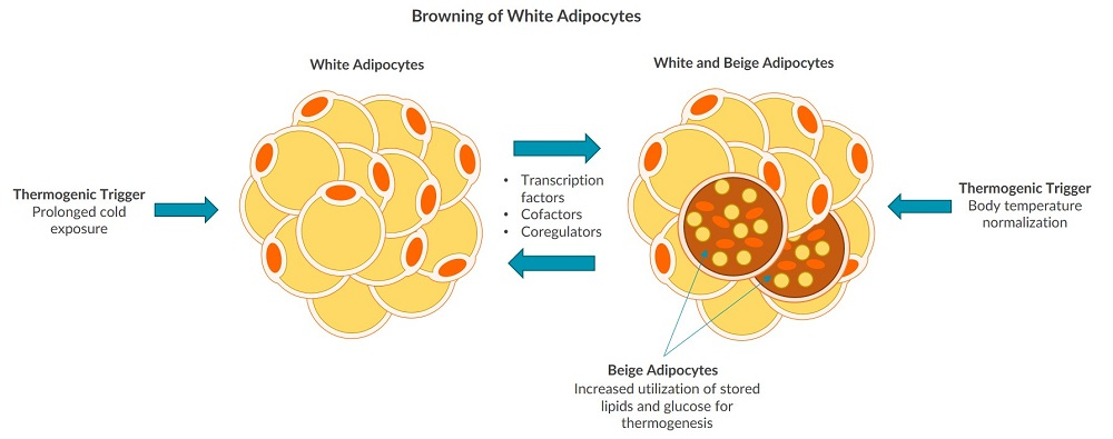 This illustration demonstrates the process of browning white adipocytes.