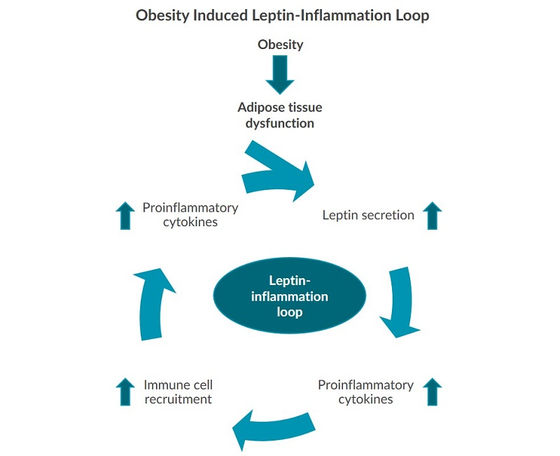 This illustration depicts the obesity induced leptin-inflammation loop.