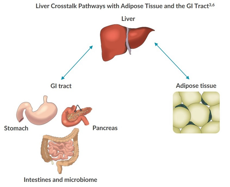 A diagram illustrating how glucose and lipid metabolism are regulated by crosstalk between the liver and GI tract.