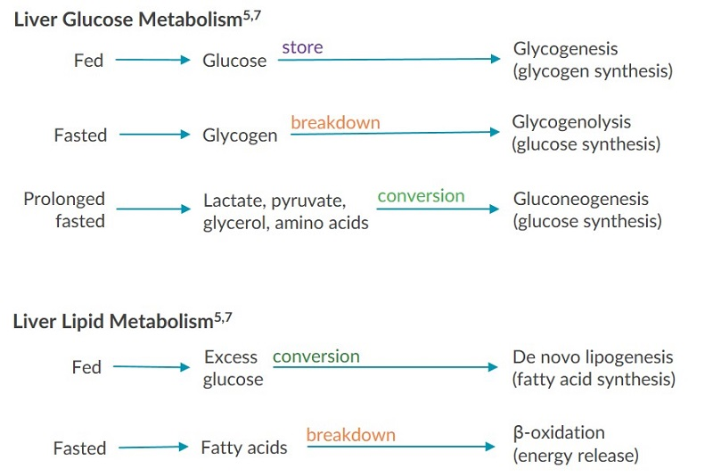 A diagram depicting how the liver maintains balance between glucose and lipid levels.
