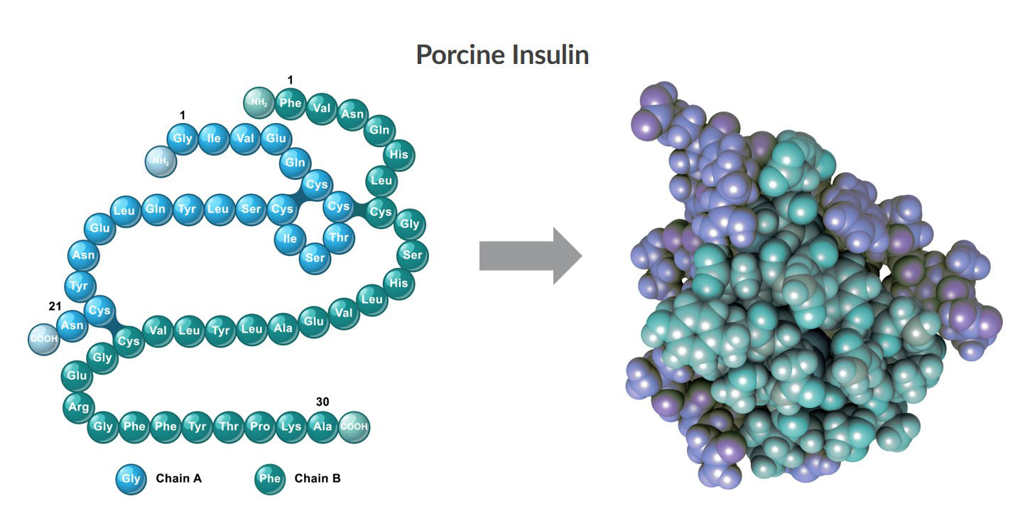 This illustration visualizes the 2D and 3D structures of porcine insulin.