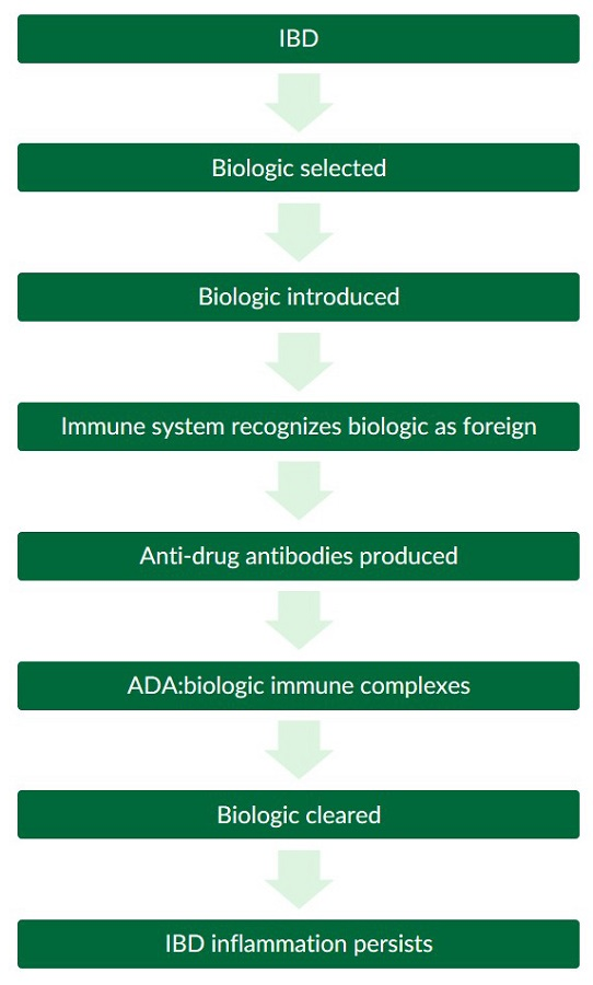 A flow chart illustrating an immunogenic reaction to IBD biologic therapy and the formation of anti-drug antibodies.