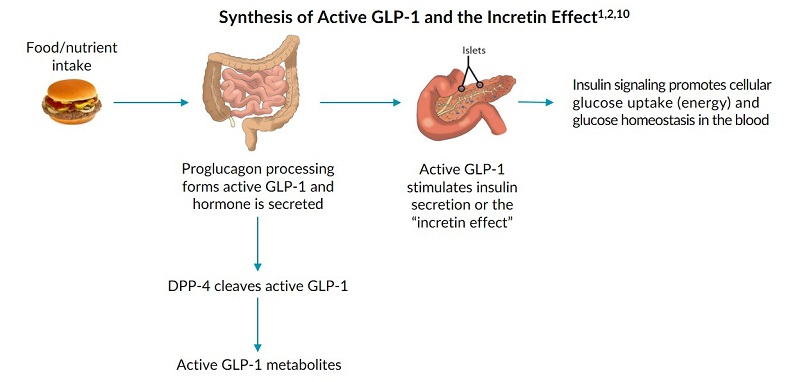 This process map outlines the synthesis of active glp-1 and the incretin effect.