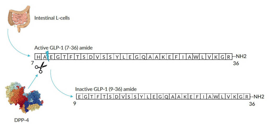 This image illustrates the formation and degradation of active GLP-1 (7-36) amide.